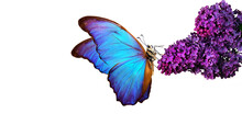Beautiful Blue Morpho Butterfly On A Flower On A White Background. Lilac Flower In Water Drops Isolated On White. Lilac And Butterfly.