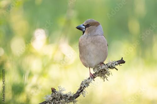 Fotografia, Obraz Bird hawfinch Coccothraustes coccothraustes