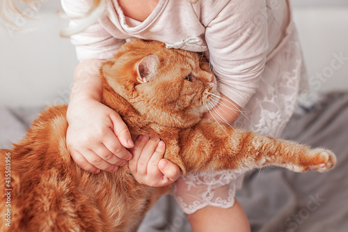 Canvas red orange disgruntled cat of straight-eared Scottish breed held captive by hand
