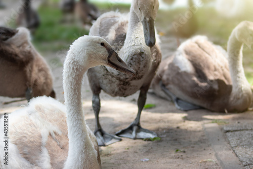 Fotografía Group of mute swan cygnets in the park