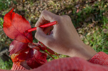 Red Pencil Painting A Tree Leaf Just Fallen In The Fall