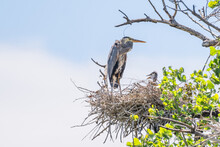 Great Blue Heron On Nest With Young Chicks