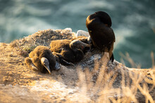 Cormorant Mother And Babies