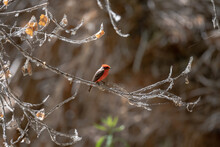 Red And Black Bird On A Limb