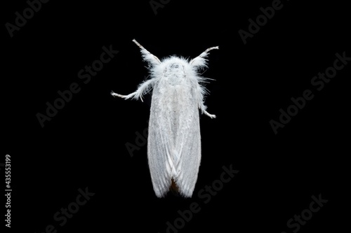 Sphrageidus similis the gold tail moth top view stock photo Fototapet