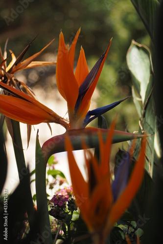 Kwiat Strelicja wiosną na Krecie, Grecja