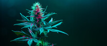 Cannabis Fowering Plant On Dark Green Background. Long Horizontal Banner With Marijuana Hemp In Colored Light With Purple Hue. Coseup Photo With Cannabis Bud In Modern Style With Empty Place For Text