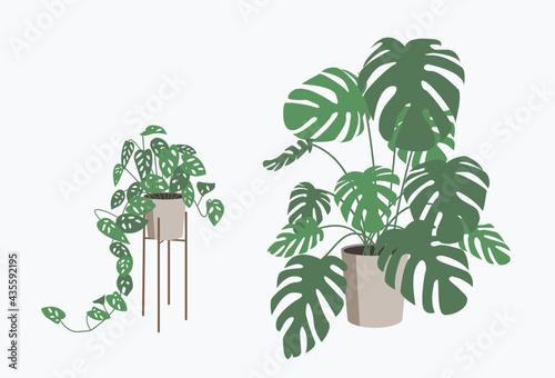 Monstera plant in flower pot isolated. Fototapeta