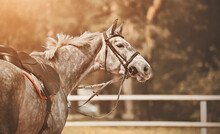 A Portrait Of A Beautiful Dappled Gray Horse, With A Black Leather Saddle And Saddlecloth On Its Back, Illuminated By Sunlight. Equestrian Sports. Horse Riding. Equestrian Life.
