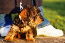 Yorkshire Terrier On The Street