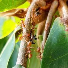 Petite Symbiose Entre... Fourmis Tisserandes (Oecophylla Smaragdina) Et Membracides (Leptocentrus Sp.)