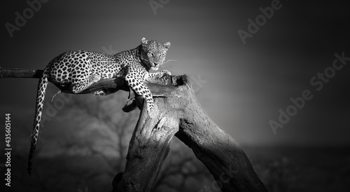 Canvas Artistic, black and white photo of an African Leopard, Panthera pardus, lying on the tree, isolated on dark background