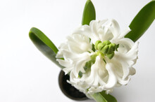 White Oriental Hyacinth Flowers In Early Spring.