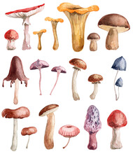 Collection Of Hand Painted Watercolor Mushrooms. Edible Mushrooms And Poisonous Fungi Bundle