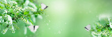 Bird Cherry Branches With White Flowers And Butterflies. Cherry Blossom Petals On A Soft Green Blurred Background. Selective Focus, Copy Space.Panorama