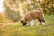 American Akita Dog Puppy Walking On The Grass In A Beautiful Park