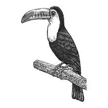 Toucan, Hand Drawn Realistic Sketch. Exotic Tropical Bird Sitting On Branch. Outline Graphic Design In Vintage Style. Black And White Drawing Bird. Isolated Image Of Animal.