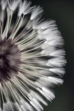 Dandelions Seed Macro