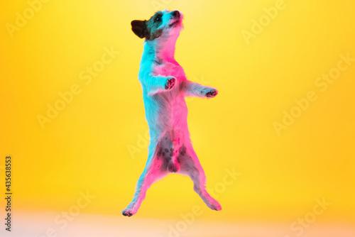 Fototapeta Cute joyful Jack Russell Terrier dog isolated over gradient yellow background in neon light