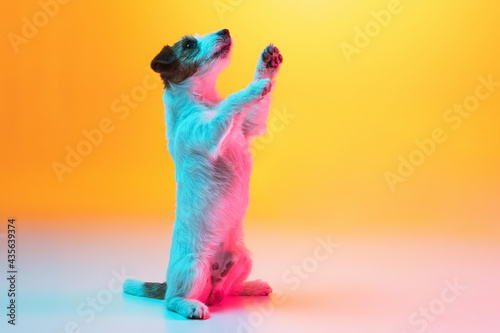 Obraz na plátně Portrait of Jack Russell Terrier dog isolated over gradient yellow background in neon light