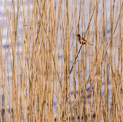 Fotografia Sedge Warbler on reeds at Pickmere Lake, Pickmere, Knutsford, Cheshire, UK
