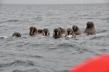 Walrösser Bei Spitzbergen