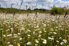 A Swathe Of Oxeye Daisies (Leucanthemum Vulgare) Growing On Grassland In Alver Valley Country Park, Gosport, Hampshire, UK