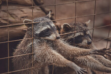 Cute Raccoons In A Cage In A Zoo Begging For Food