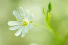 Fleur Des Champs Blanche Petite Sur Fonds Vert En Plan Rapproché En Plein Jour