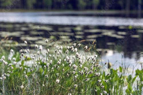 Cuadros en Lienzo Tussock cottongrass (Eriophorum vaginatum)