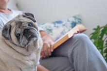 Portrait Of Clear Purebred Old Pug Dog Sitting With Her Senior Owner On Couch, Together At Home