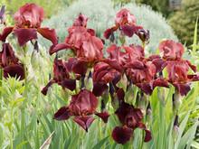 Grands Iris Barbus 'Forge Fire' (Iris Barbata). Iris De Jardin Brillant. Pétales Rouge Bordeaux à Rouge Foncé, Texture Veloutée Avec Barbe Ambrée à Pointe