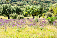 Holm Oaks In A Camo Of Whistling Flowers