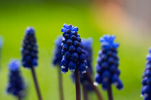 Lots Of Grape Hyacinths On A Meadow, Blue Plants On A Green Meadow With Focus In The Middle