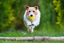 Playful Happy Dog Puppy Jumping. Pet Obedient, Agility Training.
