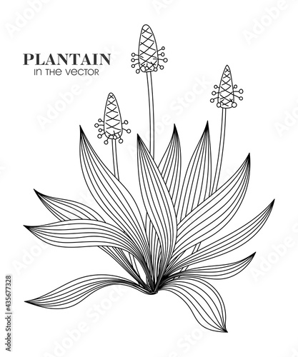 Canvas PLANTAIN BUSH ON A WHITE BACKGROUND IN VECTOR