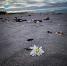 Dotleaf Waterlily Flowers Spotted On A Beach Surrounded By Shells And Seaweed; Background Bokeh Close-up