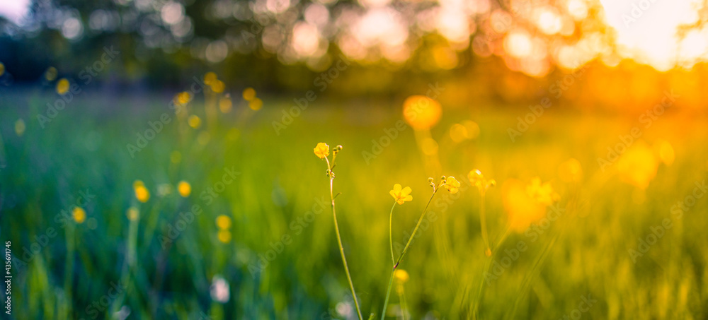 Obraz Abstract soft focus sunset field landscape of yellow flowers and grass meadow warm golden hour sunset sunrise time. Tranquil spring summer nature closeup and blurred forest background. Idyllic nature fototapeta, plakat