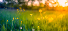 Abstract Soft Focus Sunset Field Landscape Of Yellow Flowers And Grass Meadow Warm Golden Hour Sunset Sunrise Time. Tranquil Spring Summer Nature Closeup And Blurred Forest Background. Idyllic Nature