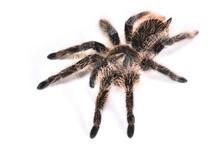 Closeup Picture Of The Curly Hair Tarantula Tliltocatl Albopilosus (former Brachypelma Albopilosum) [Araneae: Theraphosidae] From Nicaragua, An Exotic Pet Spider Photographed On White Background.