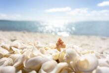 Orange Common Siphon Whelk (penion Mandarinus) On Shell Beach In Western Australia