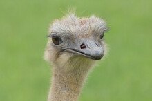 Female Ostrich Portrait With Green Background.