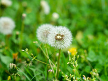 Dandelion Blowball With Seed Heads On Green Meadow