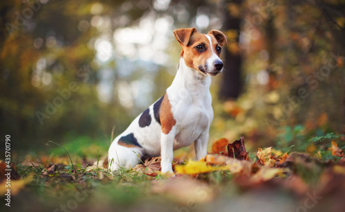 Fotografie, Obraz Small Jack Russell terrier dog sitting on brown leaves, nice blurred bokeh autum