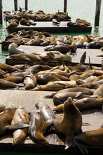 Sea Lions At The Pier Basking In The Sun.