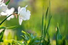 White Tender Narcissus Flowers Blooming In Spring Garden.