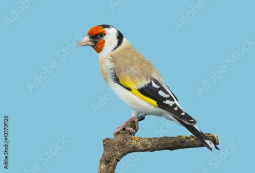 Fototapeta Goldfinch bird perched in softbox