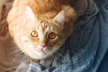 Red Tabby Cat Resting On A Blue Scarf Close-up
