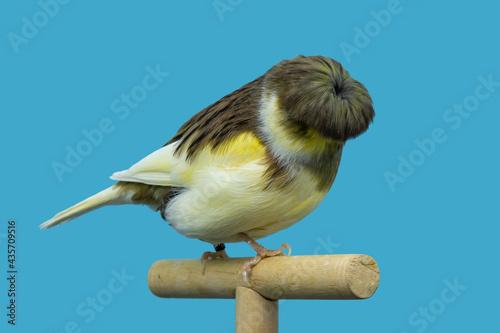 Fotografia, Obraz Gloster canary bird perched in softbox