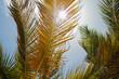 pomarańczowo zielone liście palm na tle błękitnego nieba osłaniające przed promieniami słońca